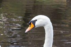 Free Swan Head Royalty Free Stock Photography - 64934427