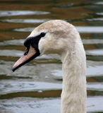 Swan Head. A head of a beautiful swan. On the bank of a canal in West London. This one is just losing his brown feathers before turning into adulthood Royalty Free Stock Photography