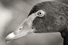 Swan head in black and white royalty free stock photo