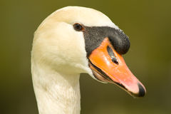 Swan head close up Stock Images