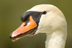 Swan head close up Stock Photo