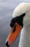 Swan head close up royalty free stock image