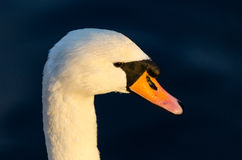 Swan head close up Royalty Free Stock Photography