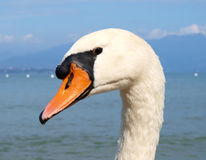 Swan head closeup Royalty Free Stock Photo