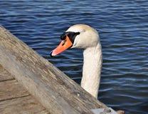 Swan head Royalty Free Stock Photo