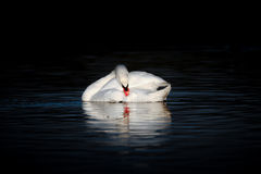 Swan With Head Down On Dark Lake Royalty Free Stock Images