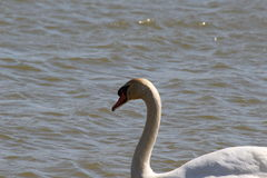 Swan (Head Emphasized) Royalty Free Stock Photos