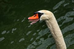 Swan head Stock Images
