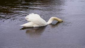 Swan with head just going under water Stock Photography