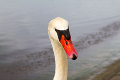 Swan Head. A swan looking at the camera Royalty Free Stock Photos