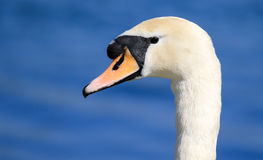 Swan head and neck Stock Photography