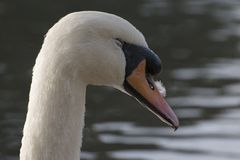 A sleepy mute swan on Southampton Common royalty free stock photo