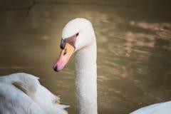 Swan head shot Stock Photos