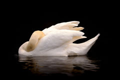 Swan With Head Tucked on Black Background. An elegant image of a mute swan with head tucked into feathers and wings curved on a black background with a slight stock images