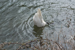 Swan head under water. Stock Images