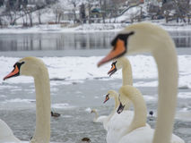 Swan heads. Winter scenery. Very selective focus. Stock Photo