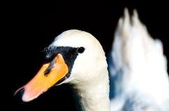 Swan Headshot Royalty Free Stock Photography