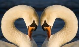 Swan Heart. Two swan mirrored looks like a heart Royalty Free Stock Photo