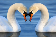 Swan Heart. Swans making a heart shape Royalty Free Stock Images