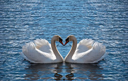 Swan heart royalty free stock images