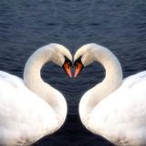 Swan heart stock image