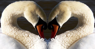 Swan Heart. A mirror image of a swan's neck forming a heart royalty free stock photos