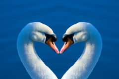 Swan heart. Two swans drawing a heart figure with their necks Stock Image