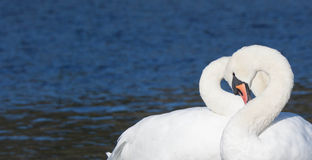 Free Swan Heart Royalty Free Stock Images - 40738039