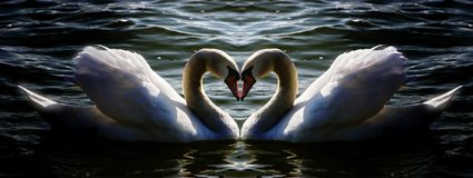 Swan heart. Shot of two swans on water Stock Photo