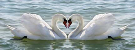 Swan heart. Two swans on water making heart Royalty Free Stock Image