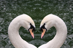 Swan heart. Two swan heads creating a heart shape with a water background that is great for an event or holiday depicting love Stock Image