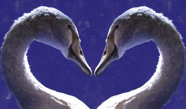 Swan heart. Two swans forming a heart Stock Photo