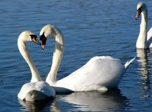Swan Heart Royalty Free Stock Photography
