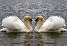 Swan Heart. 2 swans heart shape Stock Photo
