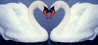 Swan heart's. Two swan mirrored looks like a heart royalty free stock photos