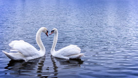 Swan heart. Swans in Serpentine Hyde park, forming a heart shape with their necks Stock Photography