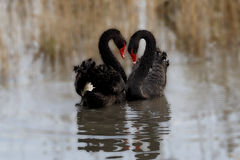 Swan heart. The two black swans form a heart Stock Photos