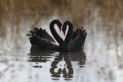 Swan heart. Two swans romantic wedding in the pond Royalty Free Stock Photos