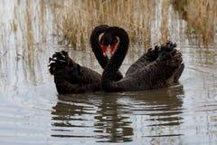 Swan heart Royalty Free Stock Photos