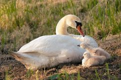 Swan and her babies Royalty Free Stock Photo