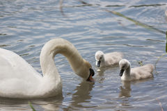 Swan with her chicks Stock Photo