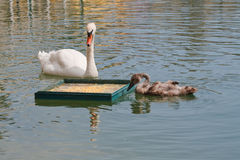 Swan with her cub Royalty Free Stock Photography