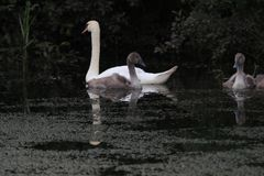 A swan and her little ones seeking shelter. In the swadow of a tree Stock Photos
