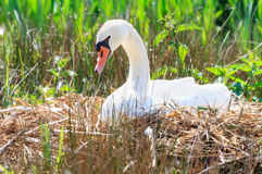 Swan on her nest Royalty Free Stock Photos