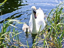 Swan and her Signet. A photo of a Swan and her baby signet in water with grass Royalty Free Stock Image