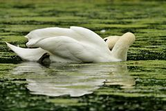 Swan hiding head in green pond weed Stock Images