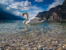 The swan and his lake. A mute swan on the clear water of Lake Garda - Italy royalty free stock photo