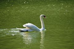 Swan In His Lake Stock Photography