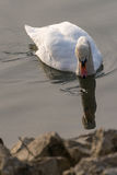Swan and his mirror image. White swan watches his mirror image in the water Royalty Free Stock Image