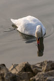 Swan and his mirror image. White swan watches his mirror image in the water Royalty Free Stock Photo